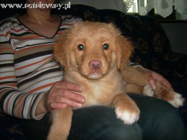 Miot Nova Scotia Duck Tolling Retriever 2007